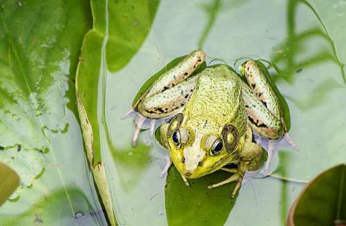 Water Frog Green Nature Animal Pond