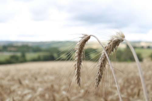 Wheat Grain Agriculture Field Cereals Spike