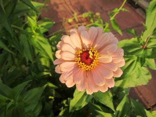 Zinnia Fall Bloom Pink Flower