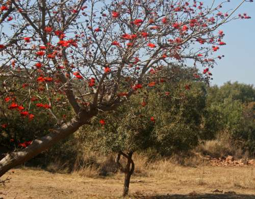 Branch Of Coral Tree Blooming Red I