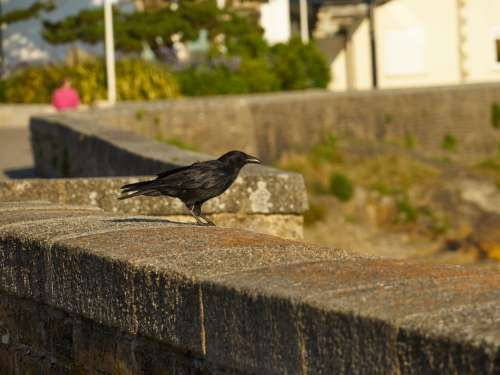 Raven Ready To Take Flight