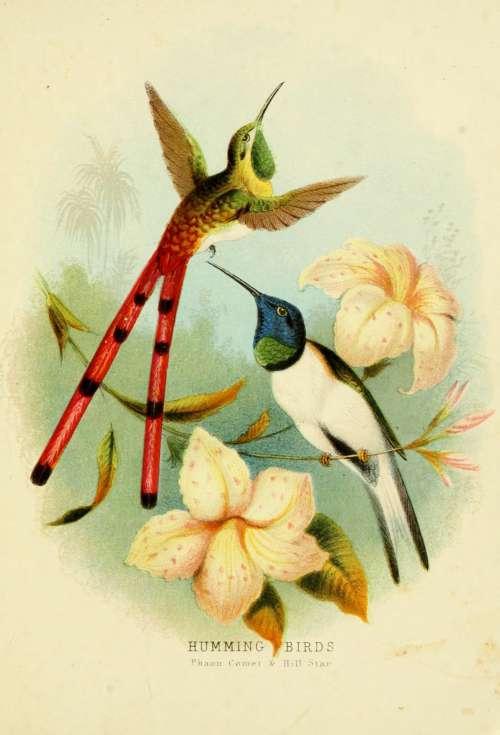 Hummingbirds 3