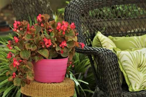 Pink Begonias Beside Wicker Chair