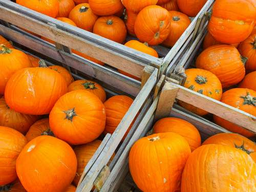Pumpkins In Boxes