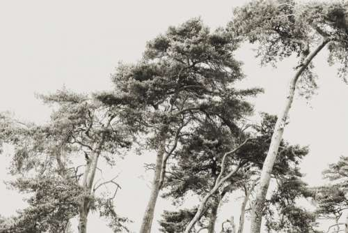 scots pine trees tree pale