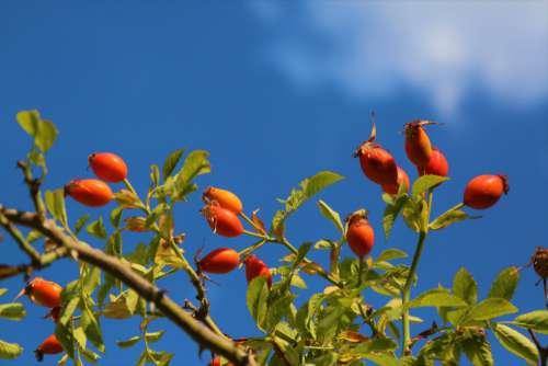 rosehip fruit nature land rural