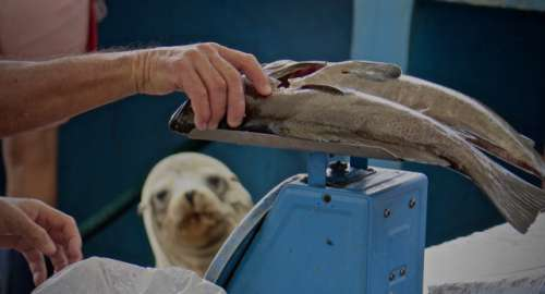 Sea lion, fish, market, hand, hope, want, weighing, desire, wet