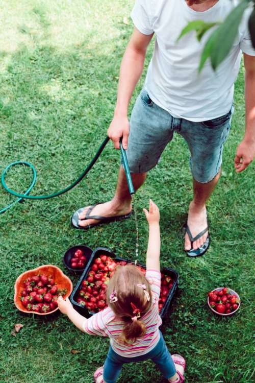 Young boy and his little sister washing strawberries freshly picked in a garden