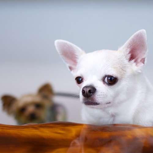 Chihuahua 🐾