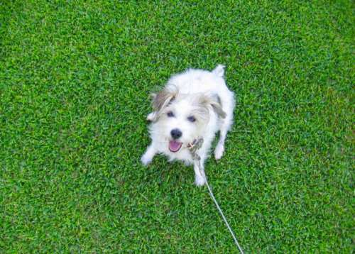 Little white puppy on a green lawn.. 🐶