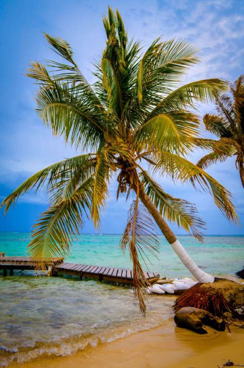 Palm on Goff's Caye, Belize