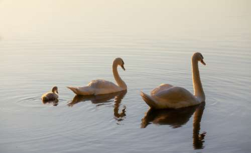 Family of swans on a lake