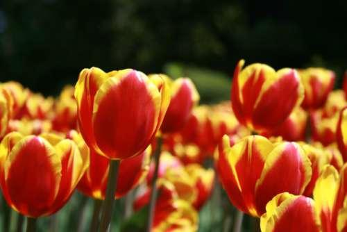 tulip flower macro petals nature