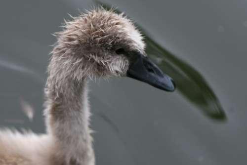 goose bird gosling head beak