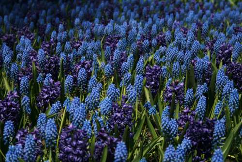 blue flowers background field meadow