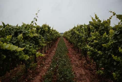 Grassy Path Through Vineyard Photo