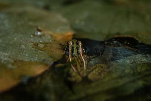 Frog Sits In Still Water Photo