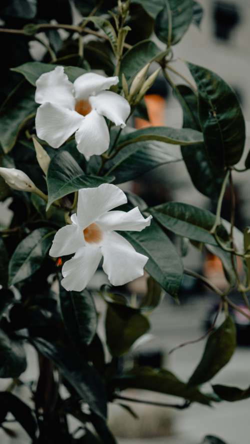 Two White Flowers With Dark Leaves Photo