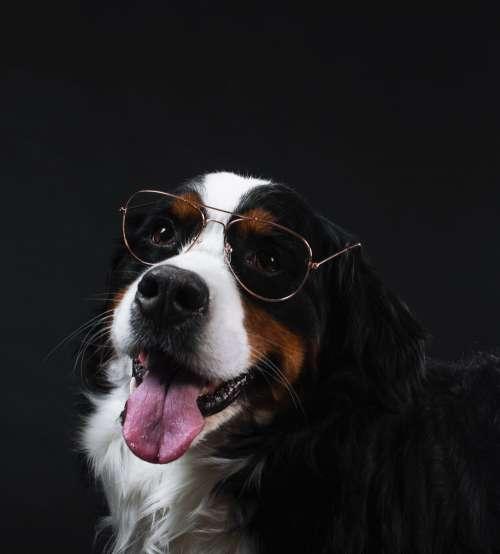 Bernese Mountain Dog Wears Glasses Photo