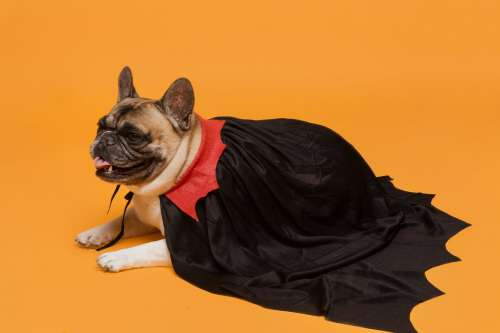 French Bulldog In Vampire Cape Photo