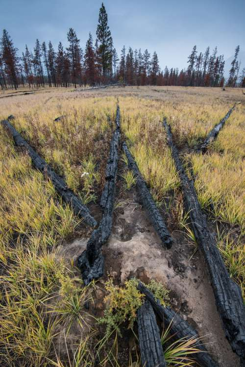 Charred Logs Laid to Rest In Grass And Thistles Photo
