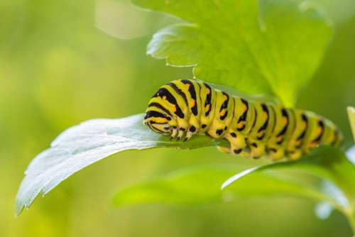 Bright Green And Yellow Caterpillar Crawling On Green Leaf Photo