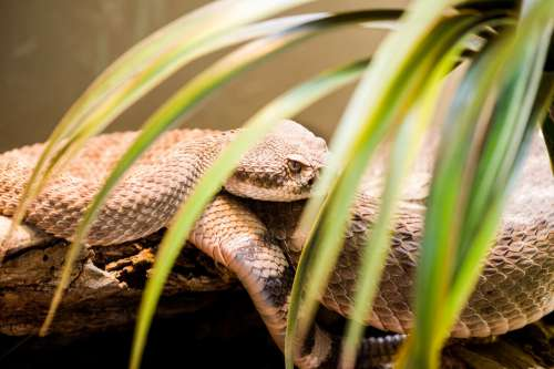 Snake Coiled And Resting On Log In Enclosure Photo
