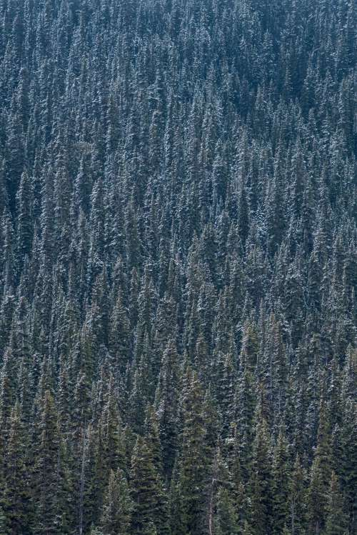 Dense Forest Of Pine Trees Dusted With Snow Photo