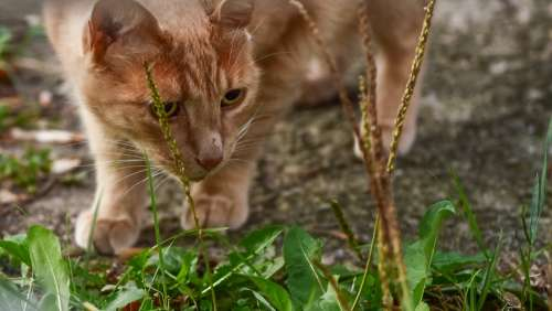 Orange Tabby Cat Prowling Through Grass And Plants Photo