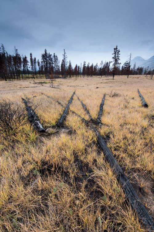 Charred Trees Left After Forest Fire Laid In Grass Photo