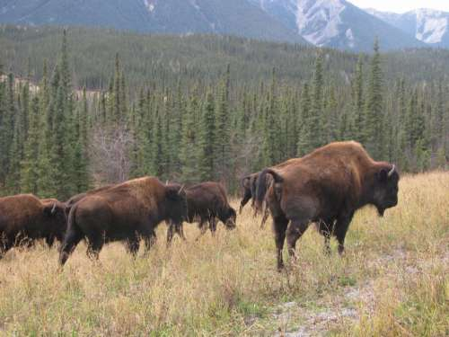 Small Herd of Wild Wood Bison in Northern Canada