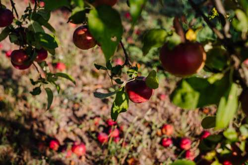 Red apples on a tree and on the ground