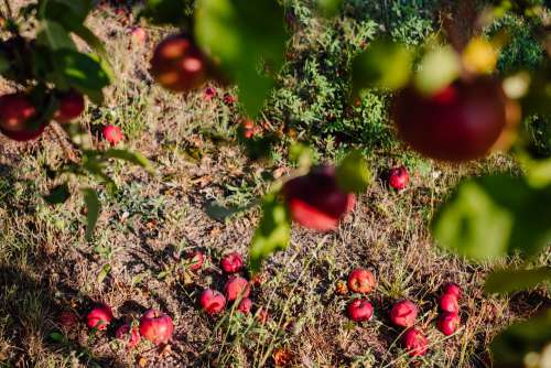Red apples on a tree and on the ground 2