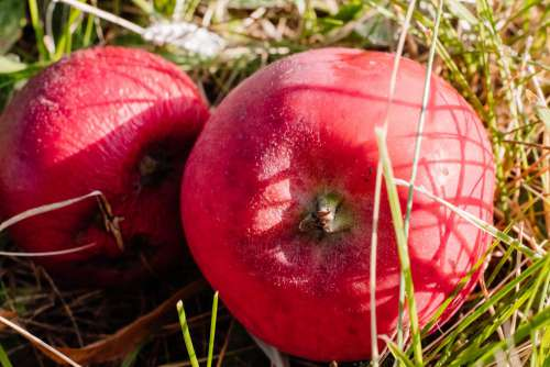 Red apples on the ground closeup