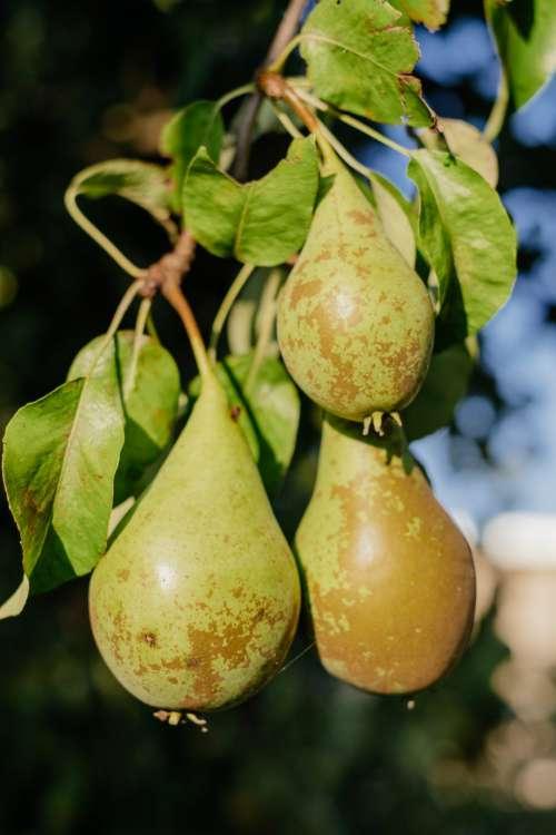 Pears on a tree 2