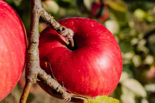 Red apples on a tree closeup