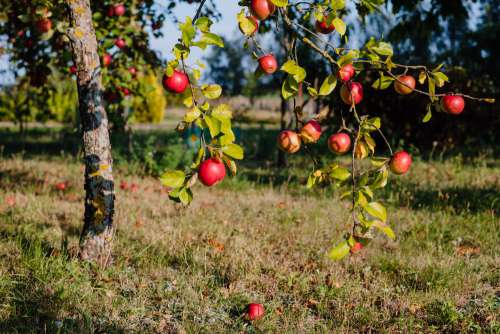 Apple orchard 3