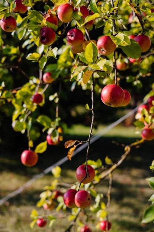 Apples on a tree 5