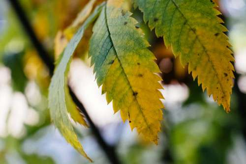 Yellow and green ash tree leaves