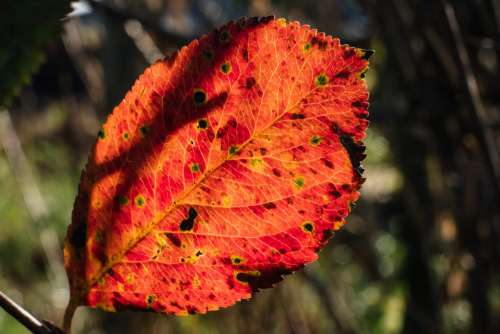 Red elm tree leaf