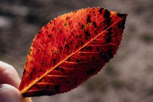 Red elm tree leaf 2