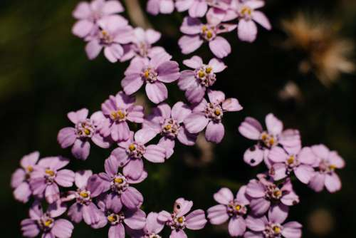 Pink yarrow wild flower closeup