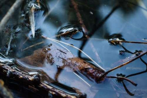 Water strider insect 2