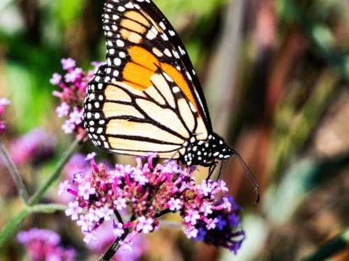 Monarch Butterfly sitting on Purple Flowers free photo