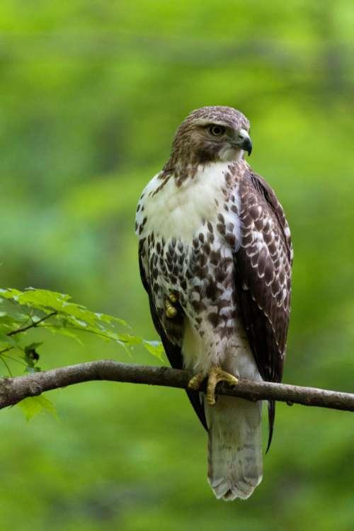 Hawk Perched in Tree