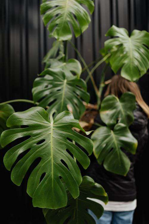 A large monstera plant in a pot
