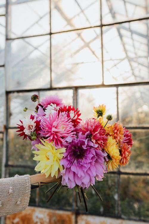 Beautiful colorful dahlia flowers