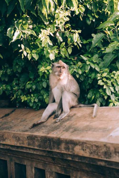 Monkey on Wall Free Photo