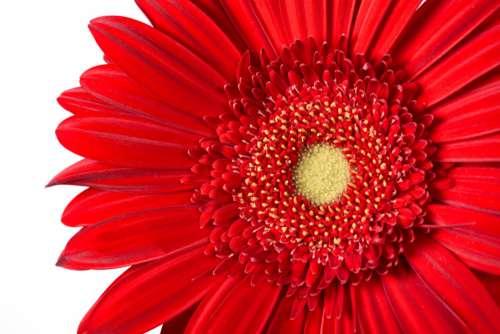 Macro Isolated Flower Free Photo