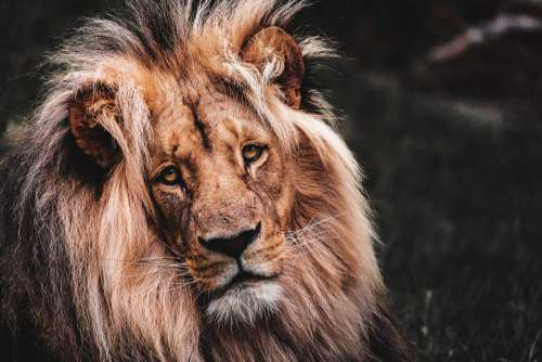 Lion Face Portrait Free Photo